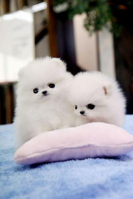 Stunning Polar Bear Pomeranian Puppies for sale
