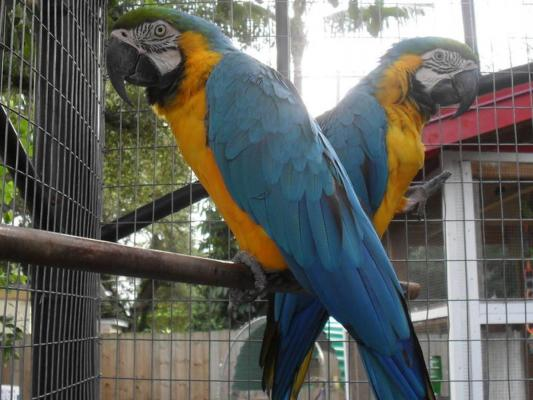 Super Tame Blue and Gold Macaws for sale