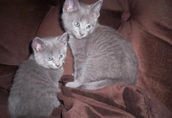 pure bred Russian blue kittens available