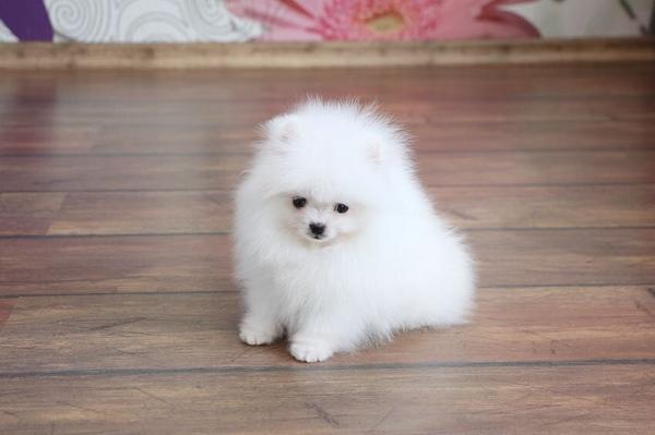 Pure Snow White Micro T-Cup Pomeranian Puppies