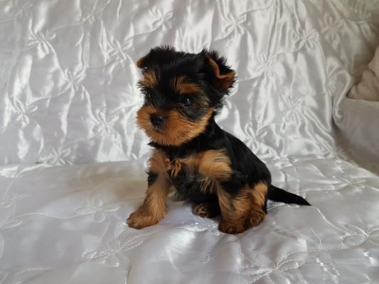 Adorable T-Cup Yorkshire Terrier Puppies For Sale!