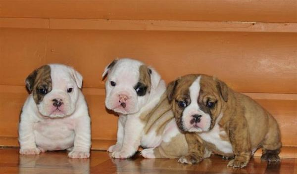 Pure Bred British Bulldog Pups - READY TO GO NOW