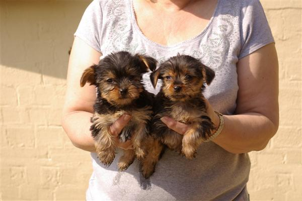 Tiny Yorkshire Terrier Puppies Ready now