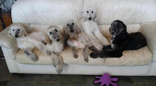 AFGHAN HOUND PUPS AVAILABLE 4 SUITABLE HOME