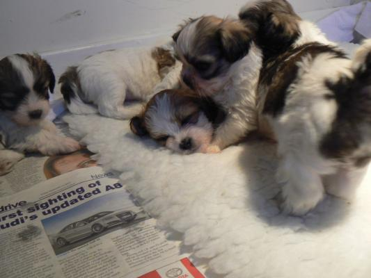 Gorgeous Pedigree Lhasa Apso Puppies For Sale