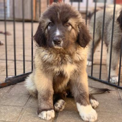 Top Quality Caucasian Shepherd Puppies For Sale