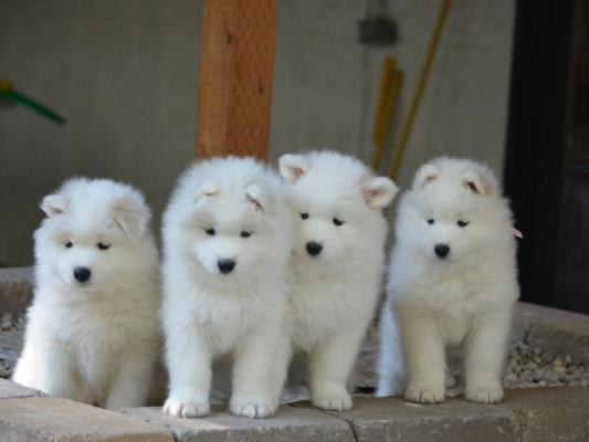 Kc Reg Beautiful Samoyed Puppies For Sale