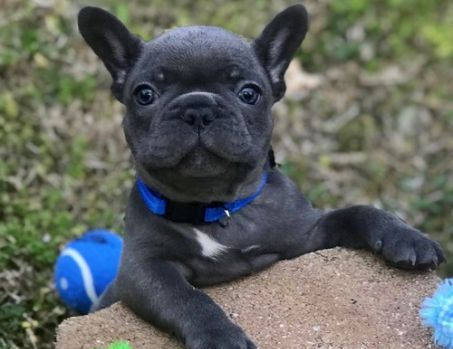 Blue French Bulldog Puppies Now Available