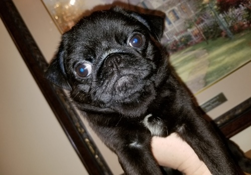 Pug puppies Available