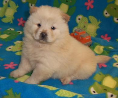 Amazing Little Chow Chows Heavy Boned Kc Reg