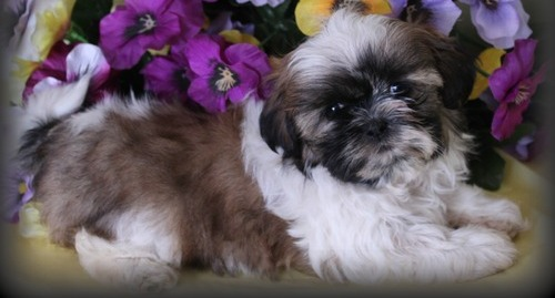 Stunning Shih Tzu Puppies Ready To Go