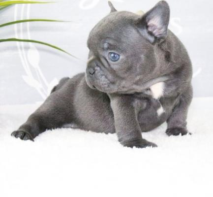 Quality French Bulldog Puppies