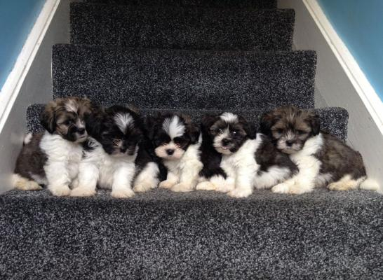 Beautiful KC registered Lhasa Apso puppies