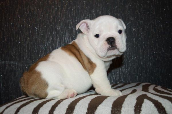 beautiful litter of bulldog puppies,