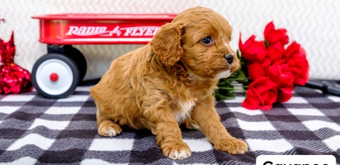 Beautiful Cavapoo Puppies! ready now