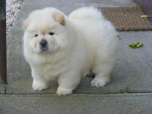 Kc Registered Gorgeous English chow chow  Babies