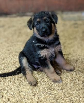 Pure BredGerman ShepherdsHealthy Girls  5* Home