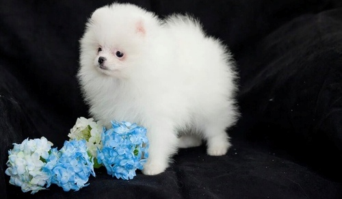 Looking For A Male Golden pomeraaina r Puppy