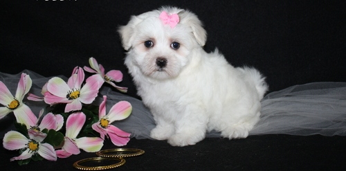 Healthy bichon frise  puppies for Re-homing!
