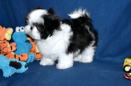 Quality shih tzu Puppies For Re-homing