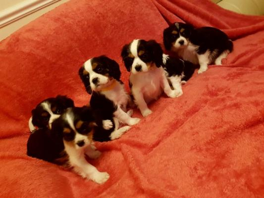 Cavalier king charle  puppies forsale