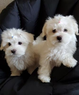 Stunning White Teacup Maltese Puppies