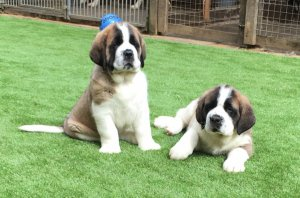 kc Quality St Bernard Puppies For Sale