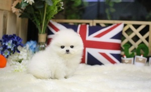 Cuttest teacup pomeranian puppies for sale