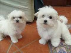 Outstanding Teacup Maltese Puppies For Sale